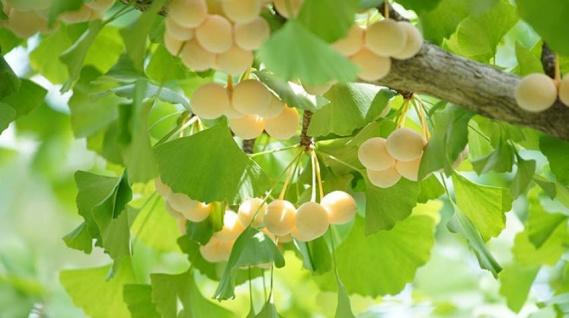 El ginkgo:Un árbol milenario que mejora el riego sanguíneo