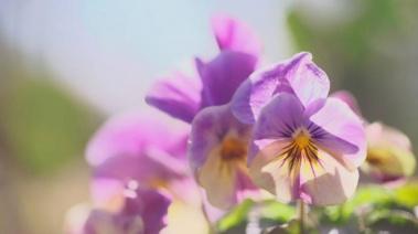 Pensamiento:Una bella flor con muchas propiedades