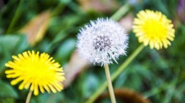 Diente de león ¿Pesadilla de tu jardín o planta medicinal?